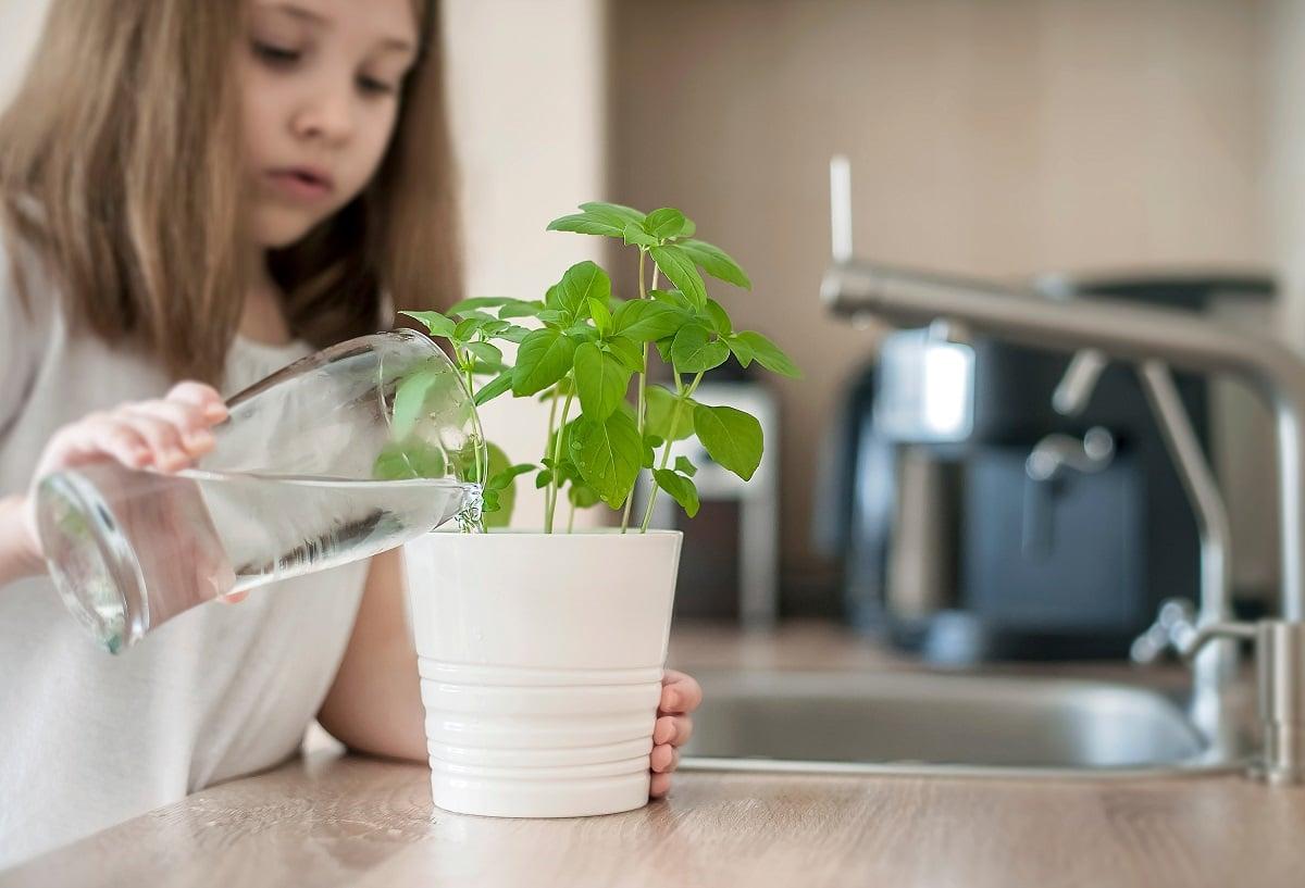 L'arrosage du basilic en pot : quand faut-il le faire ?