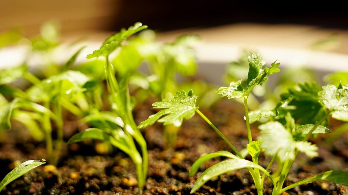 L'arrosage de la coriandre en pot : quand faut-il le faire ?
