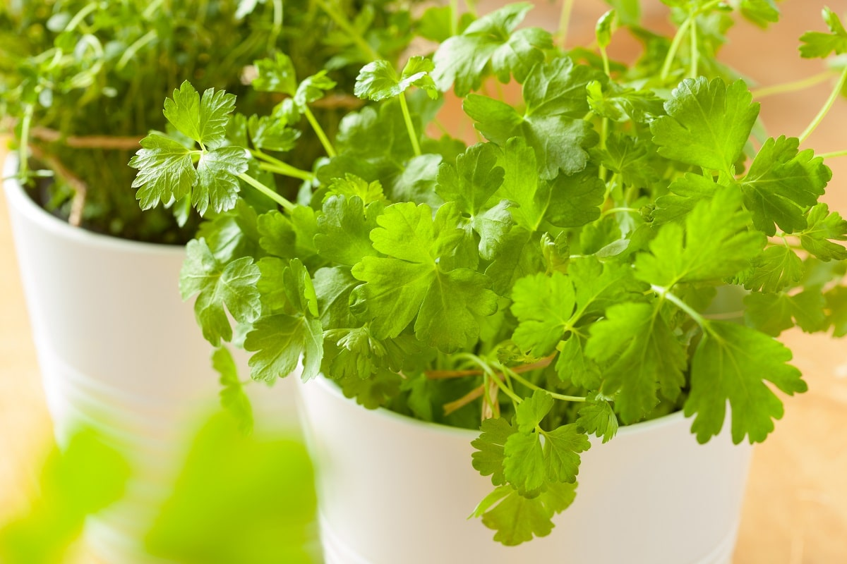 Pourquoi planter de la coriandre en pot ?