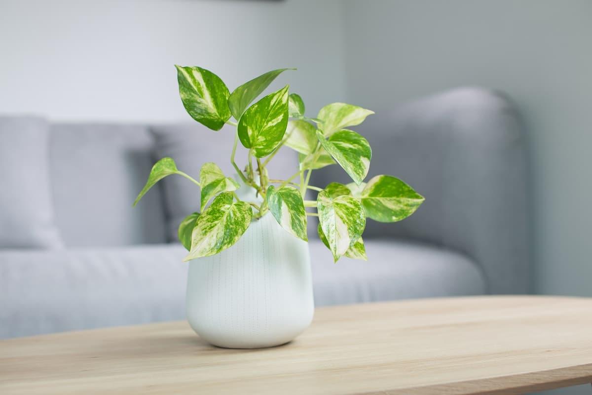 La plante pothos : où la placer ?