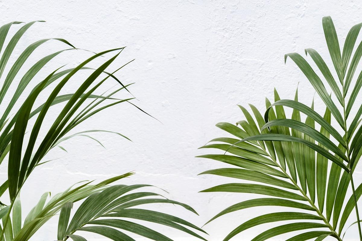 Le kentia : le palmier d'intérieur