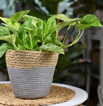 Pothos : pourquoi la choisir comme plante d'intérieur ?