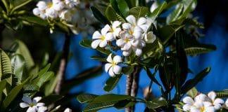 Le frangipanier en pot : un arbuste parfait pour l'intérieur